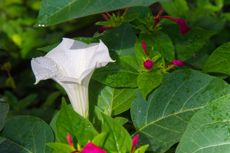 belladonna: Texture, pattern, background. Datura flower. an acutely disturbed state of mind that occurs in fever, intoxication, and other disorders and is characterized by restlessness, illusions, and incoherence of thought and speech.
