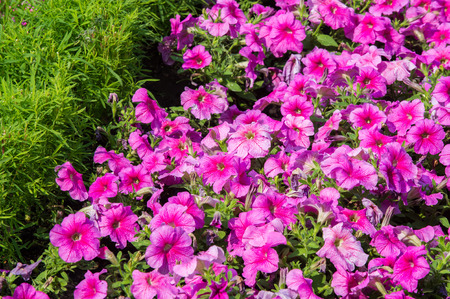petunia flowers. a plant of the nightshade family with brightly colored funnel-shaped flowers. Native to tropical America