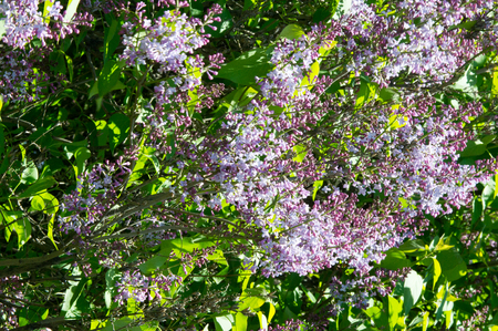 underwing: Texture, pattern, background. Lilac flowers. of a pale pinkish-violet color. Large garden shrub with purple or white fragrant flowers.