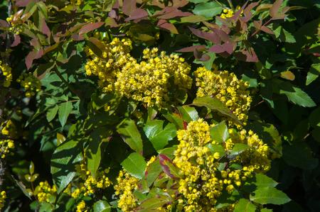 arbol de pascua: flores agracejo. un arbusto espinoso que tiene flores amarillas y frutos rojos o azules-negro.