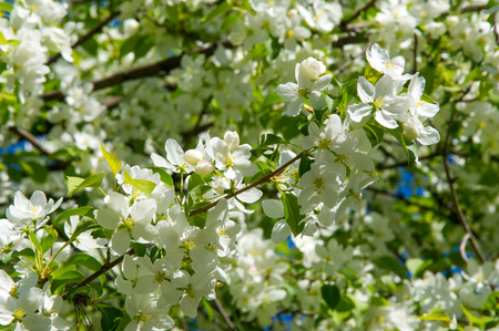 carpels: Apple trees flowers. the seed-bearing part of a plant, consisting of reproductive organs (stamens and carpels) that are typically surrounded by a brightly colored corolla (petals) Stock Photo