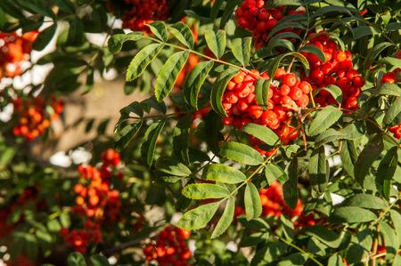 in particular: Rowan. The berries of mountain ash, a mountain ash, in particular the European Sorbus ausupariya Stock Photo