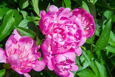 showy: Flowers peonies. a herbaceous or shrubby plant of north temperate regions, which has long been cultivated for its showy flowers. Stock Photo