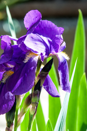 diosa griega: Iris flowers, Iris flowers. It takes its name from the Greek word for rainbow, which is also the name for the Greek goddess of the rainbow, the Iris
