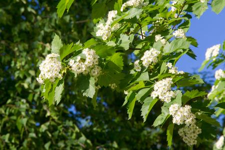 Hagedorn Blumen. Ein Dorniger Strauch Oder Baum Der Familie Der ...
