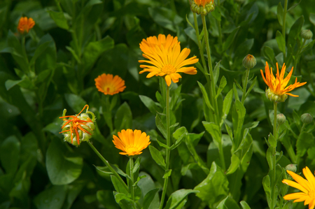 Calendula, or marigold (Calendula), - wonderful orange daisies with a particular aroma, a Mediterranean plant of a genus that includes the common (or pot) marigold. Stock Photo