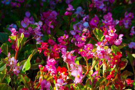herbaceous plant: Begonia flowers. a herbaceous plant of warm climates, the bright flowers of which have brightly colored sepals but no petals. Stock Photo