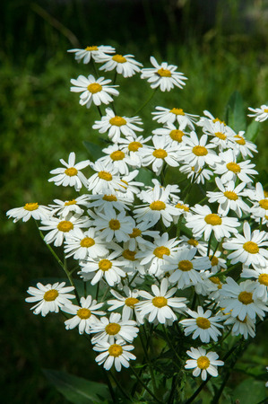 relaxant: Chamomile or camomile flowers. Herbaceous plants with buds, have to-ryh petals are usually white, and the middle yellow. The drug infusion or powder from the flowers of this plant.