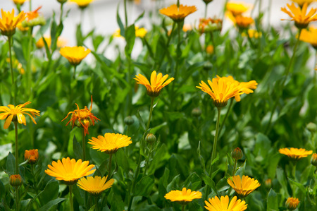 pot marigold: Calendula, or marigold (Calendula), - wonderful orange daisies with a particular aroma, a Mediterranean plant of a genus that includes the common (or pot) marigold. Stock Photo