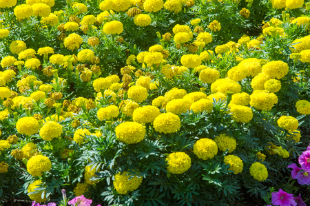 marigolds: Texture background. Flower beds city, Marigolds, Petunias Stock Photo