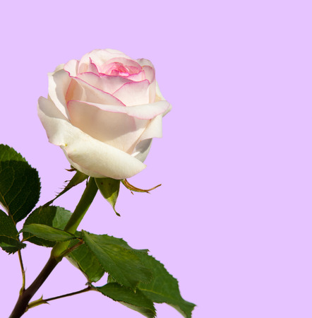 texture, pattern, background. Roses. The plant with beautiful large fragrant flowers and the stem, usually covered with spines. Stock Photo
