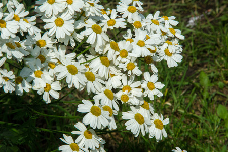 poronienie: Chamomile or camomile flowers. Herbaceous plants with buds, have to-ryh petals are usually white, and the middle yellow. The drug infusion or powder from the flowers of this plant.
