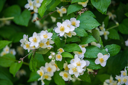 jasmine flowers. an Old World shrub or climbing plant that bears fragrant flowers used in perfumery or tea. It is popular as an ornamental.