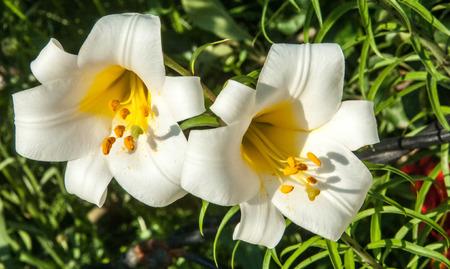 fragrant: white lilies. a heraldic fleur-de-lis. flowers in the flowerbed. Fragrant tsvkty