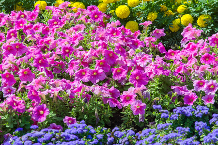 Texture background. Flower beds city, Marigolds, Petunias Stock Photo