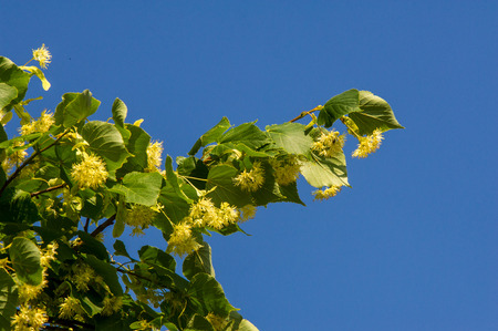 linden flowers. Soft focus. blossoming linden branch in june day.  a deciduous tree with heart-shaped leaves and fragrant yellowish blossoms,