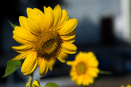 Sunflower. a tall North American plant of the daisy family, with very large golden-rayed flowers. Sunflowers are cultivated for their edible seeds,