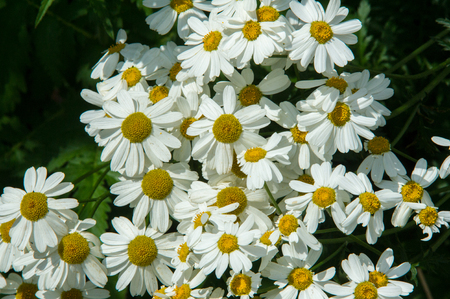 hayfever: Chamomile or camomile flowers. Herbaceous plants with buds, have to-ryh petals are usually white, and the middle yellow. The drug infusion or powder from the flowers of this plant.