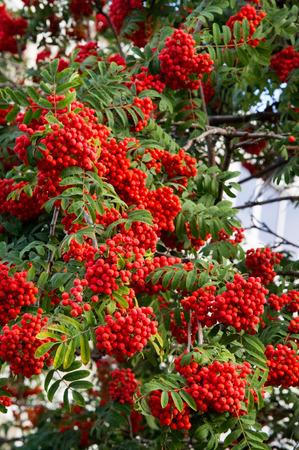 sorbus aucuparia: Rowan early autumn, the fruits of mountain ash scarlet, while the setting sun. a mountain ash, in particular the European Sorbus aucuparia. Stock Photo