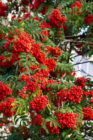 sorbus: Rowan early autumn, the fruits of mountain ash scarlet, while the setting sun. a mountain ash, in particular the European Sorbus aucuparia. Stock Photo