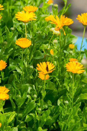 randomized: Calendula, or marigold (Calendula), - wonderful orange daisies with a particular aroma, a Mediterranean plant of a genus that includes the common (or pot) marigold. Stock Photo