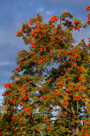Rowan early autumn, the fruits of mountain ash scarlet, while the setting sun. a mountain ash, in particular the European Sorbus aucuparia. Stock Photo