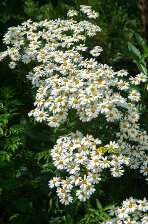 poronienie: Rumianku lub rumianku kwiaty. Rośliny zielne z pąków, trzeba-RYH płatki są zazwyczaj białe, a środkowy żółty. Infuzję leku lub proszek z kwiatów tej rośliny.