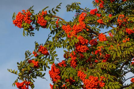 Rowan. The berries of mountain ash, a mountain ash, in particular the European Sorbus ausupariya Stock Photo