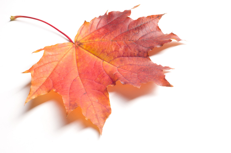 designer labels: Texture, pattern, background.  Autumn maple leaves. On a white background, there is a place for designer labels