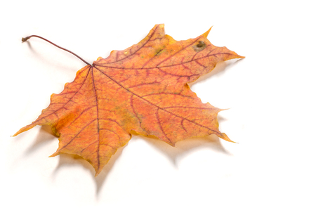 Texture, pattern, background. Autumn leaves on a tree, Maple leaves. the leaf of the maple, used as an emblem of Canada.