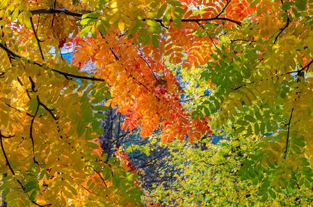 Texture, pattern, background. Autumn Leaves. Rowan. a mountain ash, in particular the European Sorbus aucuparia. Stock Photo