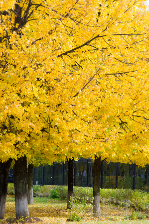 Texture, pattern, background. Leaves fall. Leaves and twigs with leaves of linden. a deciduous tree with heart-shaped leaves and fragrant yellowish blossoms, native to north temperate regions.