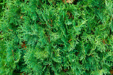 thuja occidentalis: Thuja occidentalis, also known as northern white-cedar or eastern arborvitae, is an evergreen coniferous tree, in the cypress family Cupressaceae Stock Photo