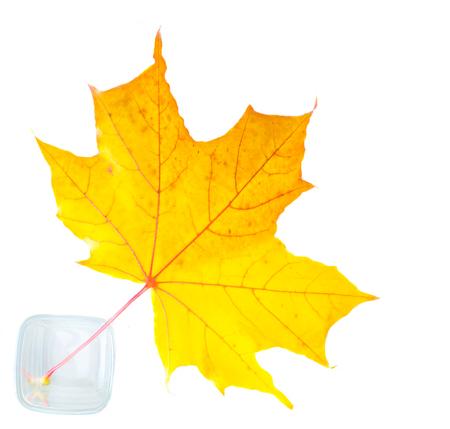 Textuur, patroon, achtergrond. Herfst bladeren op een boom, bladeren van de esdoorn. het blad van de esdoorn, gebruikt als een symbool van Canada. Stockfoto