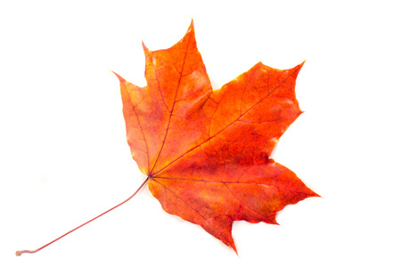 rood: Texture, pattern, background. Autumn leaves on a tree, Maple leaves. the leaf of the maple, used as an emblem of Canada.