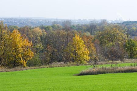 winter wheat: Autumn, winter wheat, winter grains, red yellow beautiful trees, bright green winter crops