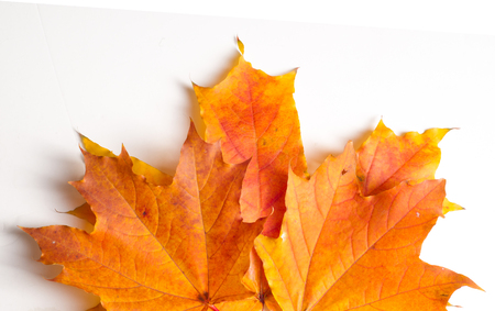 designer labels: Texture, pattern, background. Autumn maple leaves. On a white background, there is a place for designer labels Stock Photo