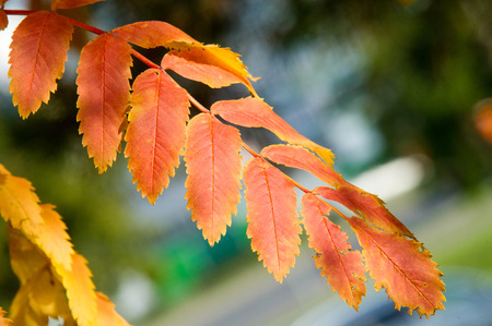 sorbus aucuparia: Texture, pattern, background. Autumn Leaves. Rowan. a mountain ash, in particular the European Sorbus aucuparia. Stock Photo