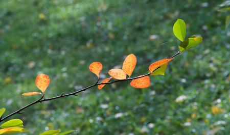 trailing: Virginia creeper, Victoria creeper (Parthenocissus quinquefolia) on fence. Texture, background. Autumn leaves Parthenocissus Stock Photo
