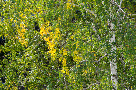 deciduous tree: Texture, pattern, background. Leaves fall. Leaves and twigs from birch leaves. Deciduous tree with white bark and heart-shaped leaves.