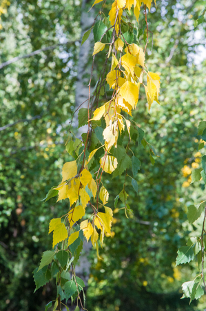 heartshaped: Texture, pattern, background. Leaves fall. Leaves and twigs from birch leaves. Deciduous tree with white bark and heart-shaped leaves.