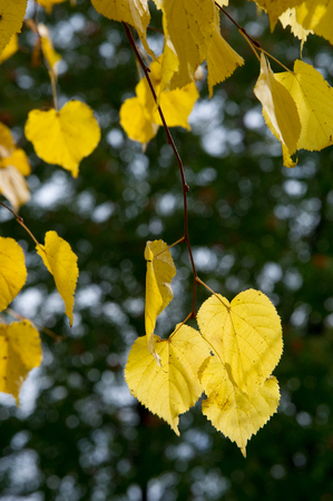 tilo: Texture, pattern, background. Leaves fall. Leaves and twigs with leaves of linden. a deciduous tree with heart-shaped leaves and fragrant yellowish blossoms, native to north temperate regions.