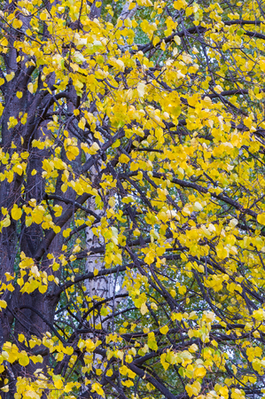 serrated: Linden Grove in autumn. Deciduous tree with heart-shaped serrated leaves and scented flowers honey.