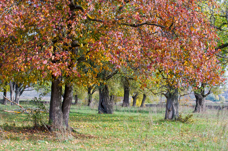 serrated: Autumn, elm with bright red leaves. a tall deciduous tree that typically has rough serrated leaves.