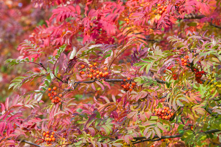 particular: Texture, pattern, background. Autumn Leaves. Rowan. a mountain ash, in particular the European Sorbus aucuparia. Stock Photo