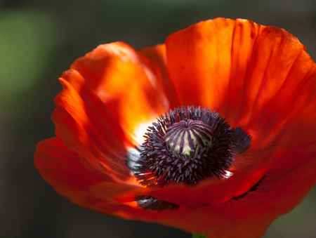 herbaceous plant: poppy. a herbaceous plant with showy flowers, milky sap, and rounded seed capsules. drugs such as morphine and codeine