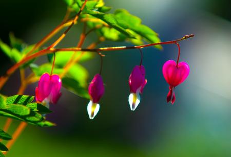Lamprocapnos spectabilis. bleeding heart. Asian bleeding-heart. Dutchmans breeches. lyre flower. lady-in-a-bath. is a rhizomatous herbaceous perennial