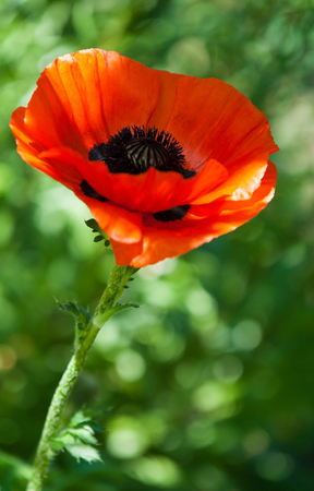 herbaceous: poppy. a herbaceous plant with showy flowers, milky sap, and rounded seed capsules. drugs such as morphine and codeine