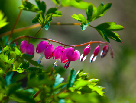 Lamprocapnos spectabilis. bleeding heart. Asian bleeding-heart. Dutchmans breeches. lyre flower. lady-in-a-bath. is a rhizomatous herbaceous perennial