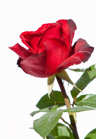rosa: rose Flower. Rose, Rosa Stock Photo
